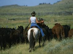 Cowgirl Driving Cattle by Highway 89, Park County, Montana, United States of America, North America  Photographic Print  by Robert Francis