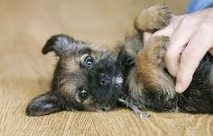 Border Terrier puppy | @ValentinesLady