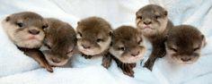 A gang of baby otter http://ift.tt/2iNEq2W