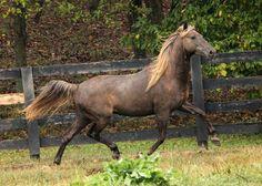 the beautiful american rocky mountain horse