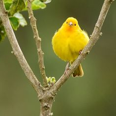 Confira lindas fotos de canário-da-terra e compartilhe com seus amigos! Beautiful Birds, Animals Beautiful, Canario Da Terra, Canary Birds, Nature Animals, Image, Decor, Yellow Birds, Gods Love