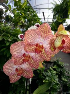 #Pink and #Yellow #Orchids from the greenhouse at Stauffers Home  #Garden store.