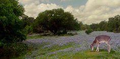 Fredericksburg Tx bluebonnets