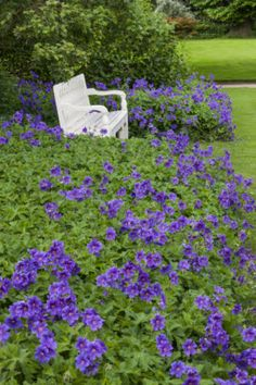 Geraniums in the garden in June on the Shugborough Estate, Staffordshire. (alt: blue plumbago, maybe blue hydrangeas, and yellow bench?)