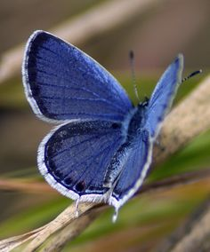 Western tailed-Blue Butterfly