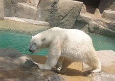 El Oso Polar Caracteristicas Donde Vive Que Come Reproduccion