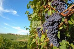 Cluster of ripe grapes in a vineyard Stock Photo