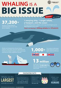INFOGRAPHIC: THERE'S NO DENYING IT- KILLING WHALES IS INHUMANE    Whaling is a big issue, 37,200+ whales have been killed for commerical sale since the 1986 ban on whaling.    1 swaying ship, 1 target whale, a harpoon, and the ocean: An instant killing strike is unlikely, so the huge animals linger up to 2 agonizing hours before death.    There's No Denying It- Killing Whales id Inhumane!