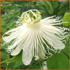 Passiflora incarnata Alba - The strikingly beautiful pure white form of the native Passion Flower found in the eastern United States.Vigorous in all locations and can pop up around the garden from underground runners. Capable of producing hundreds of flowers and fruits each year. The fruit is edible and tasty as a jam or in other recipes. Invasive so contain!