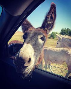 Donkeys everywhere at Custer State Park South Dakota. #wildlife #donkeys #southdakota #travel #travelphotography