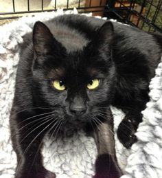Mimi | ISLAND CAT RESOURCES & ADOPTION - Alameda, CA