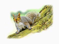 'Gray+Squirrel:+quirlig'+von+Dirk+h.+Wendt+bei+artflakes.com+als+Poster+oder+Kunstdruck+$18.03