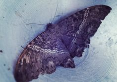 This large tropical moth is known in Mexico as the mariposa de muerte (butterfly of death). Its lore dates back to the Aztecs. A sighting in one's home represents a recently deceased loved one visiting the living—or an omen of impending death for someone who's ill.