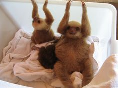 111 Adorable Baby Sloths