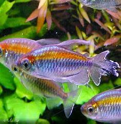 Ikan Akuarium Air Tawar Kongo Tetra