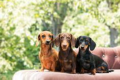 Tudo que você precisa saber sobre o cachorro salsicha