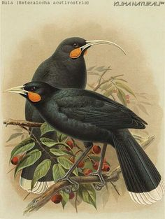 Thanks to a process called de-extinction, hope is not lost for extinct animals. Here is a list of 25 extinct animals that scientists want to de-extinct: Extinct Birds, Extinct Animals, Bird Illustration, Botanical Illustration, Rainforest Birds, Bird Coloring Pages, Vintage Birds, Bird Prints, Bird Art