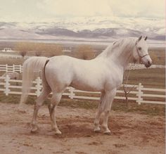 Andrew K. Steen Imagin (Image x Rafina by *Raffles) foaled 1950, bred by Roger Selby was one of the senior sires at the Steen Arabian Horse Ranch. Between 1955 and 1963 he was one of the most successful show horses in America.