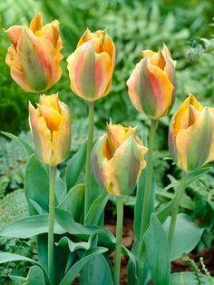 Tulip Golden Artist (Tulipa, Viridiflora style)