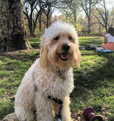 Monday got me thinking about Sunday. #firstparkday #springishere #happypuppy #centralbark #puppy #puppylove #puppiesofnyc #puppiesofinstagram #DOTUWS #goldendoodle #goldendoodlemini #goldendoodlepuppy #goldendoodlesofinsta #goldendoodlesofinstagram #groodle #fluffypack #lacyandpaws #dog #dogsofnyc #dogsofnyc #dogsofuws #dogsofinstagram by charliethedood
