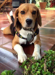 Taco The Beagle #beagle
