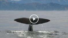New Zealand: Rare whale among large number discovered off Otago's coast - http://ift.tt/2pFwqp2 For more scuba diving news follow us: http://ift.tt/2qGg6EH