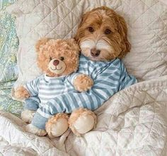 Australian Labradoodle with teddy Animals And Pets, Baby Animals, Funny Animals, Cute Animals, Cute Dogs And Puppies, Pet Dogs, Dog Cat, Doggies, Australian Labradoodle