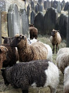 sheep in the cemetery