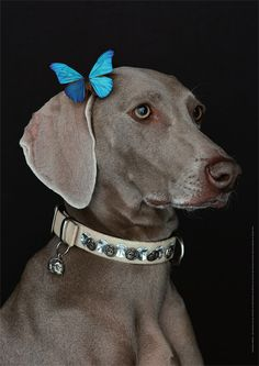 The MiladyMaraner (by William Wegman) I love blue and taupe.
