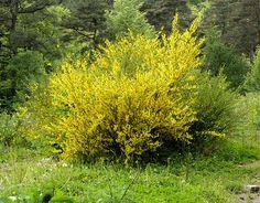 Le genêt à balais atteint une hauteur de 1 à 3 m, rarement 4 m. C'est un arbuste très ramifié, aux tiges vertes anguleuses, aux petites feuilles caduques. Les fleurs jaunes odorantes qui laissent voir les étamines. La fleur dépourvue de nectar (?) est pollinisée par les bourdons. À la fin de l'été, ses gousses oblongues deviennent noires, éclatent avec un bruit sec et répandent leurs graines autour de la plante.