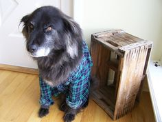 Dog in a shirt. Looks like his name is Dale or something.