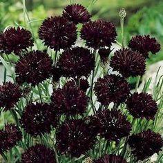 Dark Maroon Centaurea Cyanus Flower Seeds