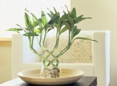 Bamboo plants are considered lucky when it represents  all 5 feng shui elements:  1. WOOD= bamboo 2. EARTH = rocks 3. WATER= in the vase 4. FIRE=tie a red ribbon or thread 5. METAL= glass is metal  in FENG shui.  If container isn't glass, add metal coins or a figurine. Plant must be given as a gift.  If you make it gift it to the house. NUMBER of STALKS have different meanings..read article