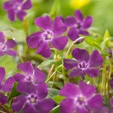 Vinca minor Atropurpurea Daffodils, Pansies, Tulips, Crysanthemum, Water Lilies, Lily Of The Valley, Dobby, Carnations, Poinsettia