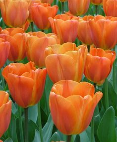Triumph Tulip Annie Schilder--This fragrant award-winner is warm orange with empire-rose flushes and a persimmon-orange interior with a yellow base.