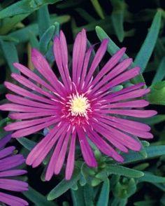 10 Perennials Easily Grown from Seed   Fine Gardening