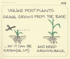 Unlike most plants, grass grows from the base. ..so it can be eaten (or cut), and keep growing back. A critical feature for surviving herds of grazing animals and lawnmowers. No wonder it's so successful.
