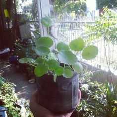 Want to improve your memory? Or get rid of your varicose veins? Gotu Kola is the herbal plant for you! Get it fresh, harvest it yourself! Php50/seedling. Visit www.herbalandherbs.com for more info. ♡ Gotu Kola, Cooking Herbs, Herbal Plants, Varicose Veins, Harvest, Rid, Herbalism, Improve Yourself, Organic