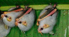 Morcegos hondurenhos parecem bolinhas de marshmallow
