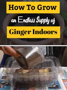 The easiest method to grow ginger indoors at home
