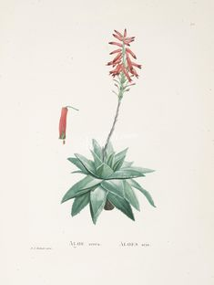 aloe serra - high resolution image from old book.Size in pixels: Old Book Pages, Cactus Art, Art Clipart, Picture Collection, Wall Collage, Aloe, Clip Art, Pictures, Painting