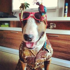 Jimmy Buffett Bull Terrier