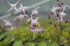 """EPIMEDIUM GRANDIFLORUM 'SWALLOWTAIL' First flush of small leaflets are numerous & stand 7"""" tall edged with purple followed after bloom by attractive 12"""" foliage. Flowers are blue lavender streaked in rose with angular white spurs streaked lavender."""
