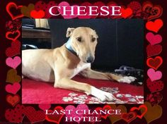 Cheese - Lurcher x EBT H/C & Fee Apply @JuliaLCHrescue #lovingbaby #toydominant pic.twitter.com/OHz02FLG8q