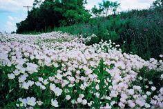 Pink Primroses by Karen Roie Forest