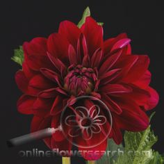 Cranberry colored Dahlia