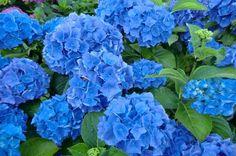 Blue HYDRANGEA Steiniger - GARDEN READY - Hardy Perennial Shrub Plant