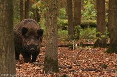 Black Boar in the Netherlands
