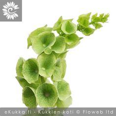 Kotilokukka (Irlanninkello), Moluccella laevis Gerbera, Plants, Plant, Planting, Planets