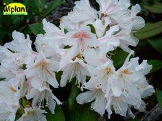 Rhododendron Cunningham's White. Tidig, vita blommor, friskt gröna blad. Höjd: 1 m.